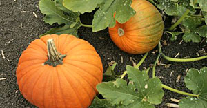 Pumpkin Field Crop Image